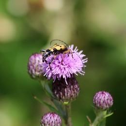 180717 Spotted longhorn beetle (4)