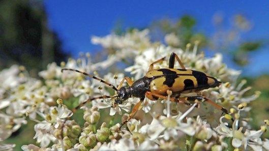 180717 Spotted longhorn beetle (5)