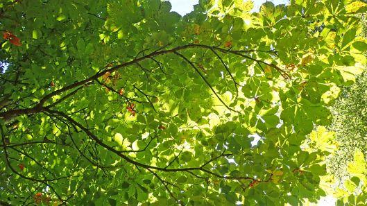 180718 Horse chestnut leafminer (4)