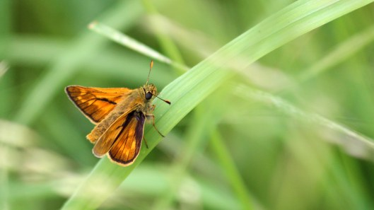 180719 large skipper (4)