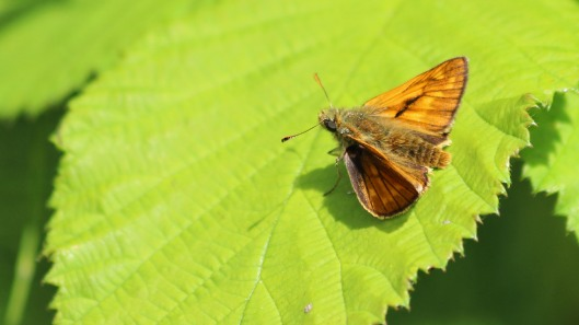 180719 large skipper (7)