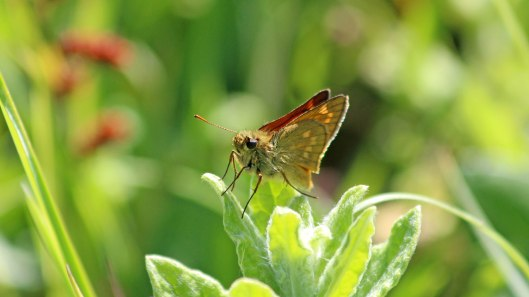 180719 large skipper (9)