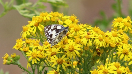 180721 Marbled white at West Park