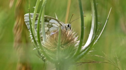 180721 Marbled white at Woods Mill
