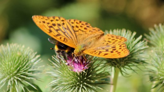 180722 Silver-washed fritillary (2)