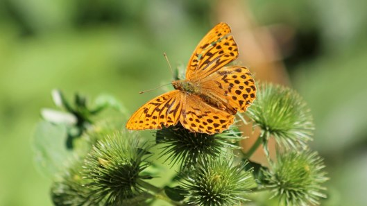 180722 Silver-washed fritillary (3)