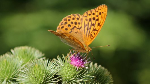 180722 Silver-washed fritillary (5)