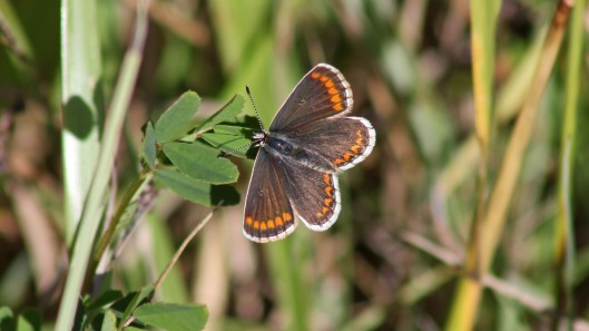 180724 Brown argus Cosmeston