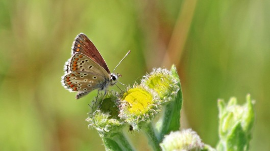 180724 Brown argus CuckmereValley