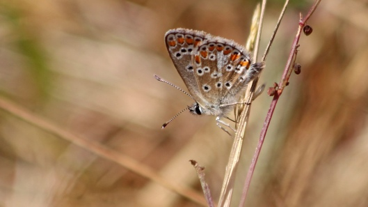 180724 Brown argus Dungeness
