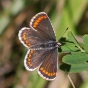 180726 confusing butterflies open wings (5)