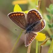 180726 confusing butterflies open wings (6)