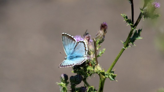 180728 Chalk Hill blue (1)