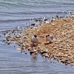 180731 Common terns (1)