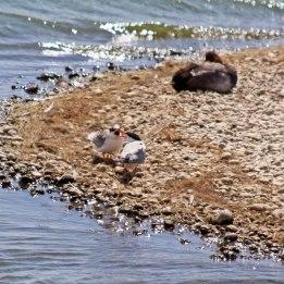 180731 Common terns (2)