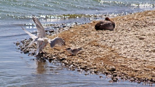 180731 Common terns (3)