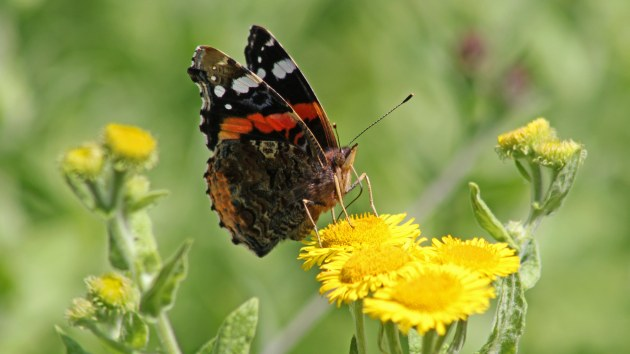 180405 red admiral