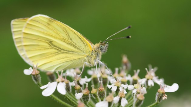 180515 green veined white