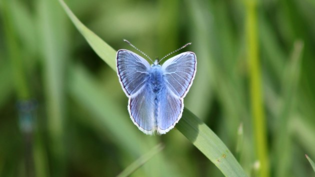 180517 common blue