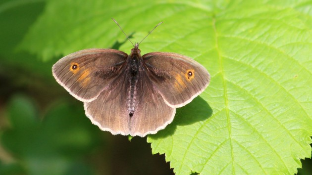 180531 meadow brown