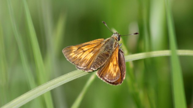 180602 large skipper