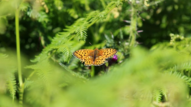 180622 dark green fritillary