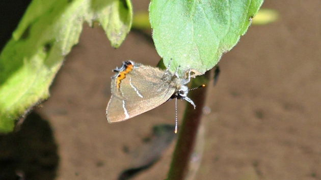 180628 white-letter hairstreak