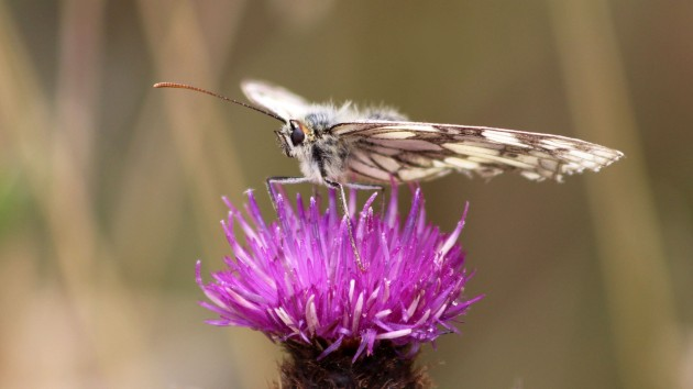 180713 marbled white