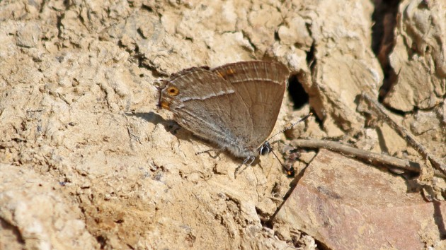 180713 purple hairstreak