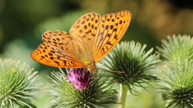 180713 silver-washed fritillary