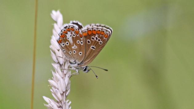 180717 brown argus