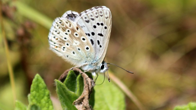 180718 chalk hill blue