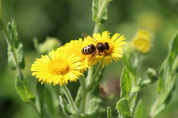 180803 bee on fleabane
