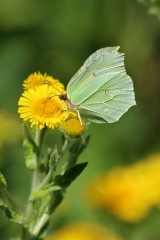 180803 brimstone on fleabane