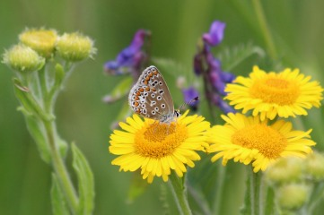 180803 common blue on fleabane (4)