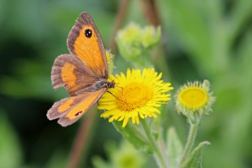 180803 gatekeeper on fleabane