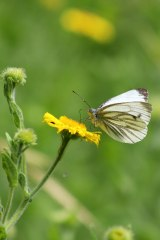 180803 green-veined white on fleabane