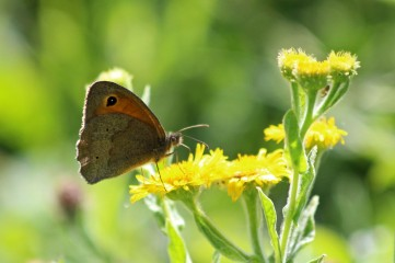 180803 meadow brown on fleabane