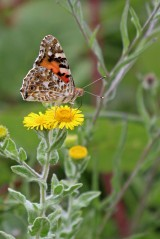 180803 painted lady on fleabane