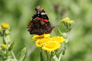 180803 red admiral on fleabane