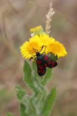 180803 six-spot burnet on fleabane