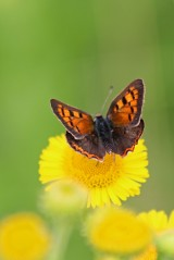 180803 small copper on fleabane