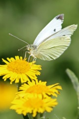 180803 small white on fleabane