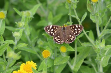 180803 speckled wood on fleabane