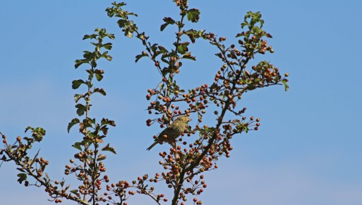 180807d greenfinch.jpg