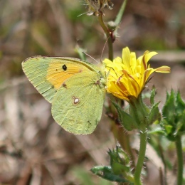 180808 clouded yellow (2)