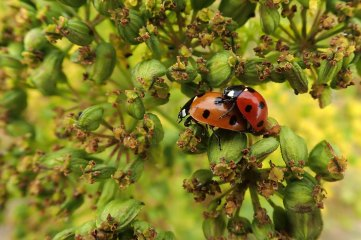 180810 ladybirds on wild parsnip (1)