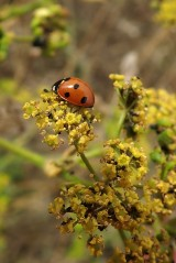 180810 ladybirds on wild parsnip (10)