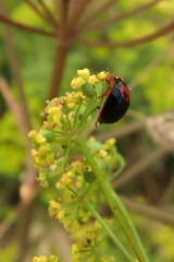 180810 ladybirds on wild parsnip (11)