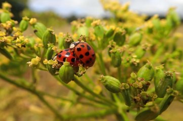 180810 ladybirds on wild parsnip (12)